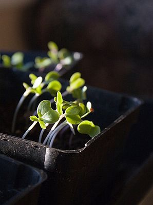 Brussel sprout seedlings, by Librarianguish